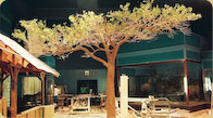 AcaciaAcacia tree at the Field Museum in Chicago