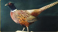 Ringneck Pheasant taxidermy