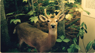 Young White Tailed Buck in Velvet taxidermy