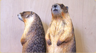Yellow-bellied marmots